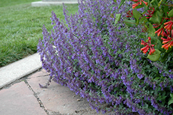 Six Hills Giant Catmint (Nepeta x faassenii 'Six Hills Giant') at Weston Nurseries