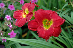 Happy Ever Appster® Red Hot Returns Daylily (Hemerocallis 'Red Hot Returns') at Weston Nurseries