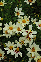 Starlight Tickseed (Coreopsis 'Starlight') at Weston Nurseries