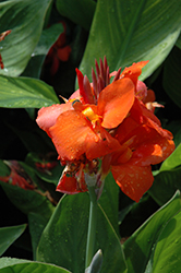Cannova® Red Canna (Canna 'Cannova Red') at Weston Nurseries