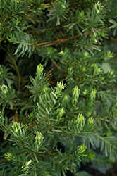 Japanese Plum Yew (Cephalotaxus harringtonia 'Drupacea') at Weston Nurseries