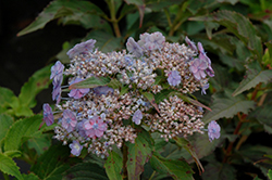Tiny Tuff Stuff™ Hydrangea (Hydrangea serrata 'MAKD') at Weston Nurseries