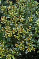 Compact Inkberry Holly (Ilex glabra 'Compacta') at Weston Nurseries