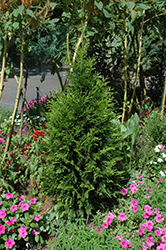Steeplechase Arborvitae (Thuja 'Steeplechase') at Weston Nurseries