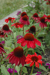 Sombrero® Baja Burgundy Coneflower (Echinacea 'Balsombabur') at Weston Nurseries
