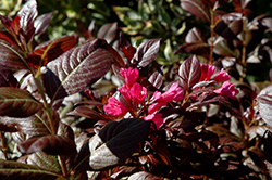 Minor Black Weigela (Weigela florida 'Minor Black') at Weston Nurseries