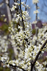 Royal White Redbud (Cercis canadensis 'Royal White') at Weston Nurseries