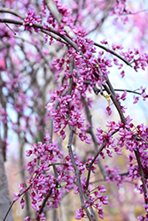 Pink Heartbreaker Redbud (Cercis canadensis 'Pink Heartbreaker') at Weston Nurseries