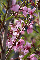 Elberta Peach (Prunus persica 'Elberta') at Weston Nurseries