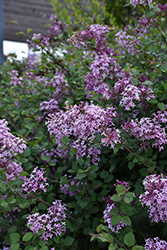 Bloomerang® Lilac (Syringa 'Bloomerang') at Weston Nurseries
