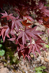 Red Baron Japanese Maple (Acer palmatum 'Red Baron') at Weston Nurseries