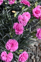 Scent First® Tickled Pink Pinks (Dianthus 'Devon PP11') at Weston Nurseries