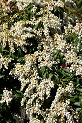 Karenoma Pieris (Pieris 'Karenoma') at Weston Nurseries