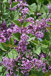Bloomerang® Dark Purple Lilac (Syringa 'SMSJBP7') at Weston Nurseries