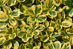 Gold Splash® Wintercreeper (Euonymus fortunei 'Roemertwo') at Weston Nurseries