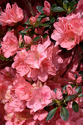 Blaauw's Pink Azalea (Rhododendron 'Blaauw's Pink') at Weston Nurseries