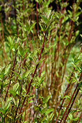 1 Common Dogwood Plant//Cornus Sanguinea 40-60cm Tall Stunning Winter Colours 3fatpigs/®
