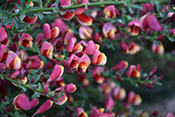 Burkwood's Broom (Cytisus x burkwoodii) at Weston Nurseries