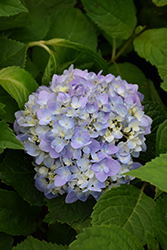 Let's Dance® Moonlight Hydrangea (Hydrangea macrophylla 'Robert') at Weston Nurseries
