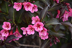 Wine and Roses® Weigela (Weigela florida 'Alexandra') at Weston Nurseries