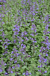 Blue Wonder Catmint (Nepeta x faassenii 'Blue Wonder') at Weston Nurseries