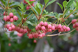 Redvein Enkianthus (Enkianthus campanulatus) at Weston Nurseries