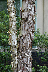 Dura Heat River Birch (Betula nigra 'Dura Heat') at Weston Nurseries