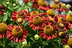 Mariachi™ Salsa Sneezeweed (Helenium autumnale 'Salsa') at Weston Nurseries