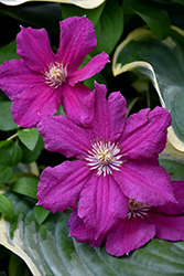 Ernest Markham Clematis (Clematis 'Ernest Markham') at Weston Nurseries