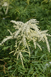 Cutleaf Goatsbeard (Aruncus dioicus 'Kneffii') at Weston Nurseries
