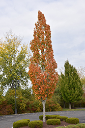 Armstrong Maple (Acer x freemanii 'Armstrong') at Weston Nurseries