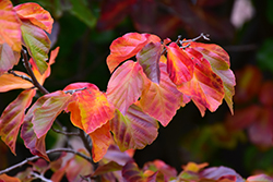 Persian Parrotia (Parrotia persica) at Weston Nurseries