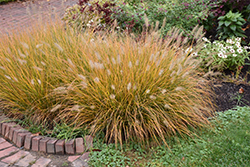 Hameln Dwarf Fountain Grass (Pennisetum alopecuroides 'Hameln') at Weston Nurseries
