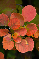 Dwarf Fothergilla (Fothergilla gardenii) at Weston Nurseries