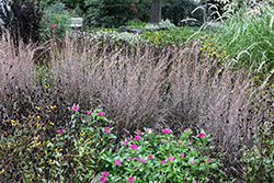 Standing Ovation Bluestem (Schizachyrium scoparium 'Standing Ovation') at Weston Nurseries