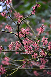 Ruby Glow Witchhazel (Hamamelis x intermedia 'Ruby Glow') at Weston Nurseries