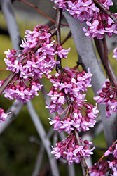 Lavender Twist® Redbud (Cercis canadensis 'Covey') at Weston Nurseries