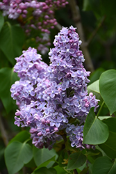 President Grevy Lilac (Syringa vulgaris 'President Grevy') at Weston Nurseries