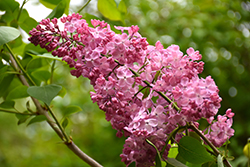 Maiden's Blush Lilac (Syringa x hyacinthiflora 'Maiden's Blush') at Weston Nurseries