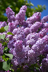 Common Lilac (Syringa vulgaris) at Weston Nurseries