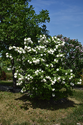 Snowball Viburnum (Viburnum opulus 'Roseum') at Weston Nurseries