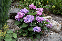 Bloomstruck® Hydrangea (Hydrangea macrophylla 'PIIHM-II') at Weston Nurseries