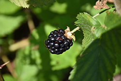 Jewel Black Raspberry (Rubus occidentalis 'Jewel') at Weston Nurseries
