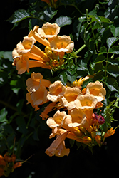 Yellow Trumpetvine (Campsis radicans 'Flava') at Weston Nurseries