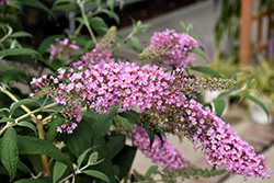 Pink Delight Butterfly Bush (Buddleia davidii 'Pink Delight') at Weston Nurseries