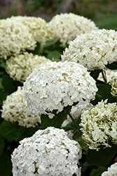 Invincibelle® Wee White Hydrangea (Hydrangea arborescens 'NCHA5') at Weston Nurseries