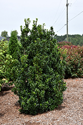 Castle Wall® Meserve Holly (Ilex x meserveae 'Heckenstar') at Weston Nurseries