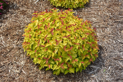 Double Play® Candy Corn® Spirea (Spiraea japonica 'NCSX1') at Weston Nurseries