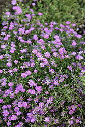 Pink Creeping Baby's Breath (Gypsophila repens 'Rosea') at Weston Nurseries