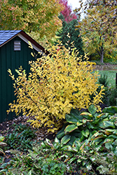 Vernal Witchhazel (Hamamelis vernalis) at Weston Nurseries